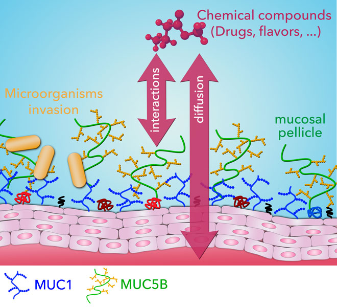 membrane-associated MUC1 improves adhesion of salivary MUC5B on buccal cells. Global Medical Discovery