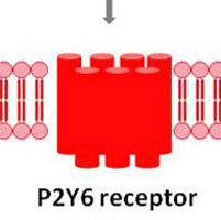 feat Thymidine 5'-O-monophosphorothioate induces HeLa cell migration by activation of P2Y6 receptor- Global Medical Discovery