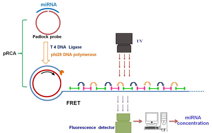 quantification of microRNA by coupling probe-rolling circle amplification and Förster resonance energy transfer-global medical discovery