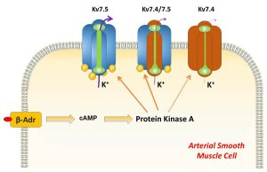 Kv7.5 Potassium Channel Subunits Primary Targets PKA-Dependent Enhancement Vascular Smooth Muscle Kv7 Currents Global Medical Discovery