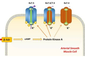 Kv7.5 Potassium Channel Subunits Are the Primary Targets for PKA-Dependent Enhancement of Vascular Smooth Muscle Kv7 Currents