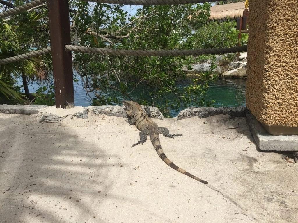 Iguana at Xel-Ha in Cancun Mexico