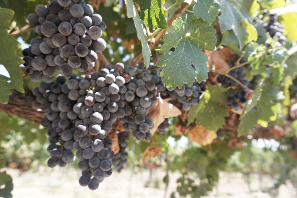 Gorgeous grapes growing on the vine at Temecula Wineries in California | Global Munchkins