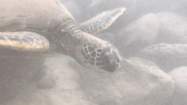 Turtle Town Maui
