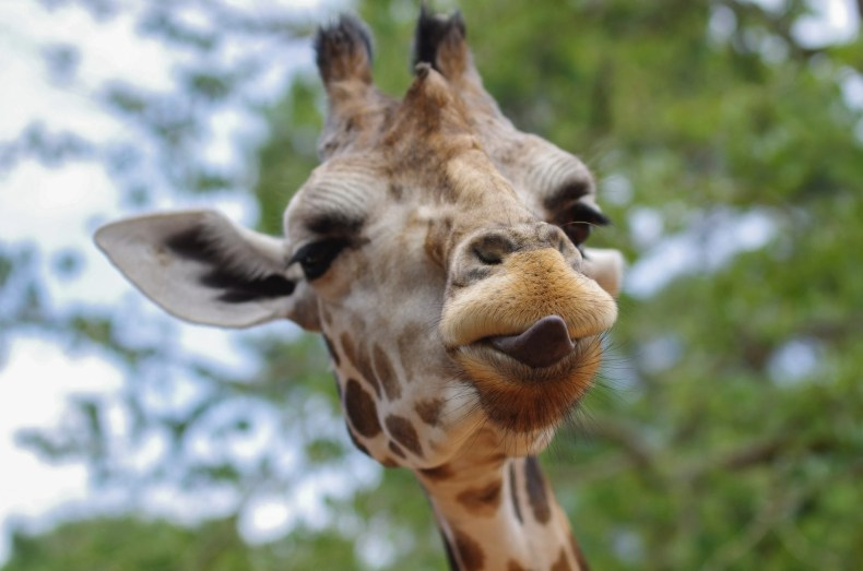 giraffe - animal kingdom fast pass