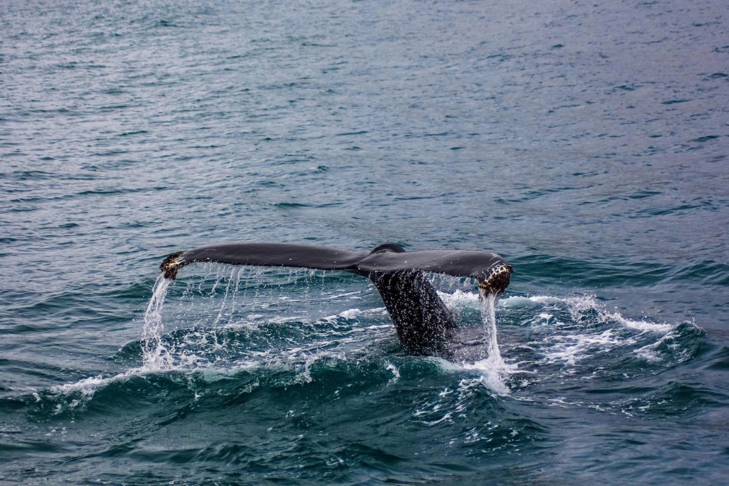 maui whale watching season