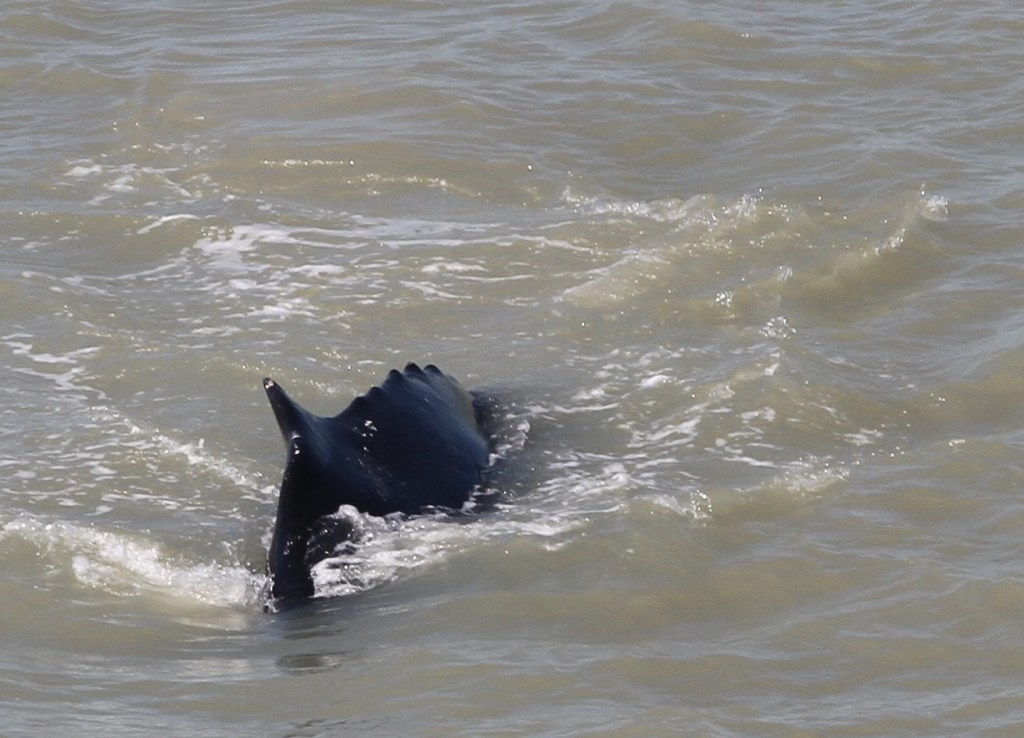 A humpback whale is shown in the East Alligator River on Sept. 11, 2020.
