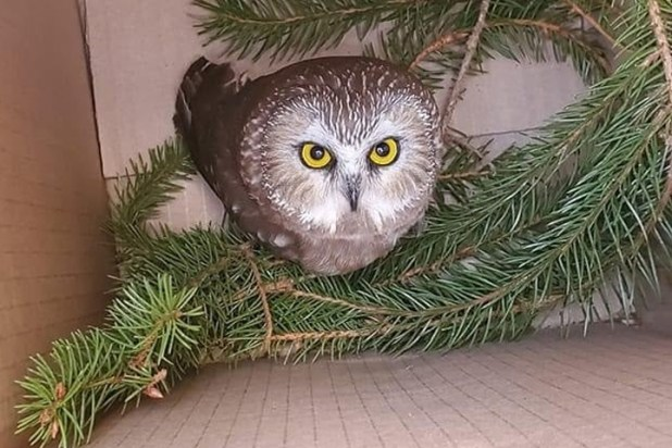A saw whet owl is shown in a box on Nov. 17, 2020, after it was rescued from a tree at the Rockefeller Center in New York City.