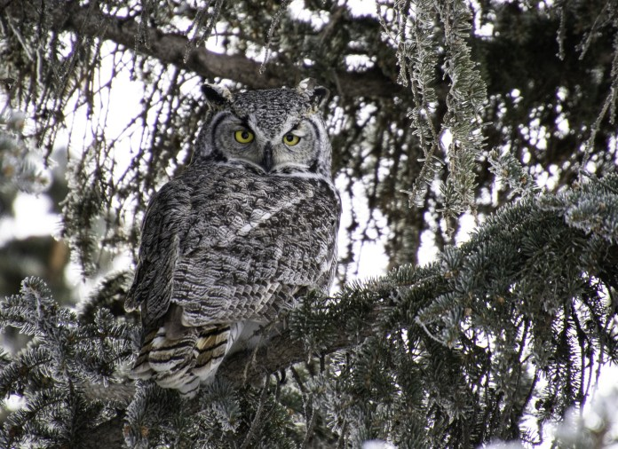 Cathy Wall took the Feb. 3 Your Saskatchewan photo of the day of a great horned owl in Regina.