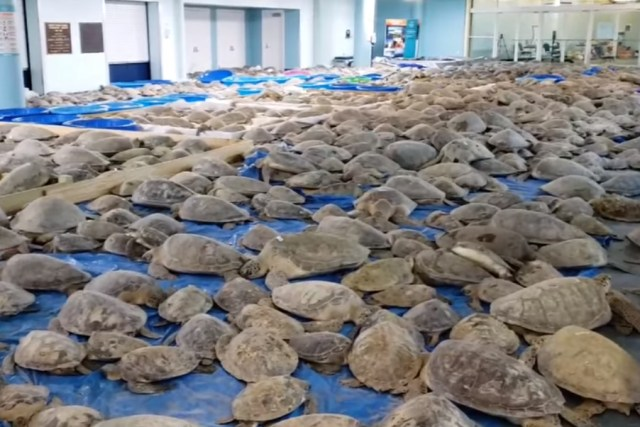 Thousands of turtles are shown at the South Padre Island Convention Center in Texas on Feb. 17, 2021.