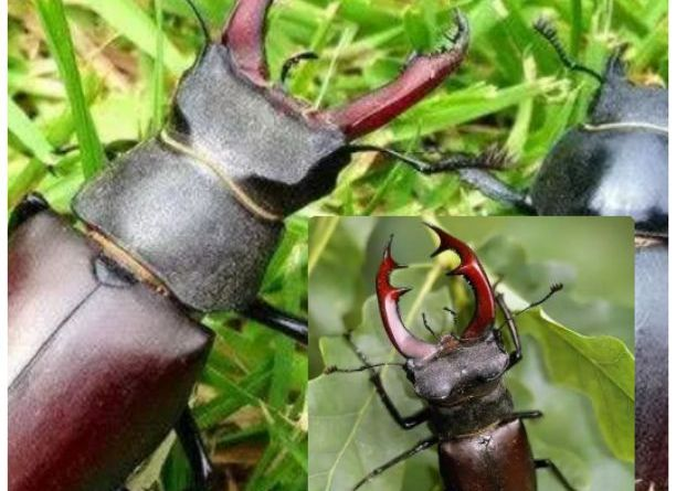 Amazing if you find this STAG BEETLE, you can become a millionaire