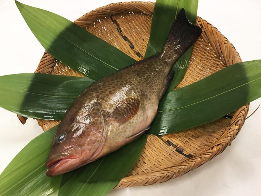 Oomonhata - Areolate grouper Image