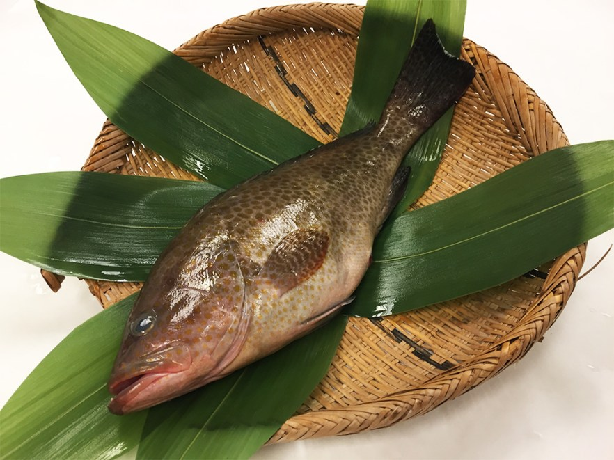 Oomonhata - Areolate grouper Image