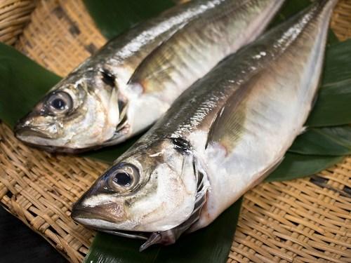 TSURI AJI - Lined Horse mackerel