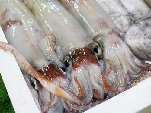 SHIRO-IKA - Swordtip squid