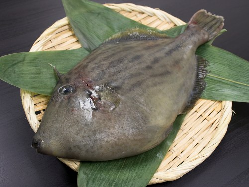 KAWAHAGI - Filefish