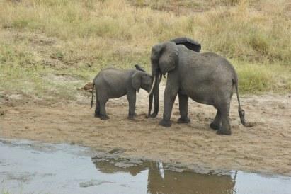tanzania-elephants_31284341312_o