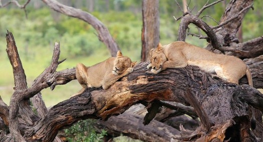Zimbabwe_SleepingLions_cropped