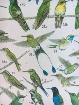 Local Hummingbirds