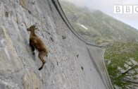 Mountain goat defies gravity