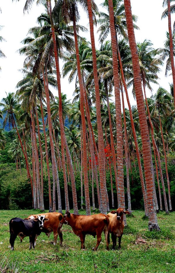 Commercial agriculture, North Efate. Photo by Phillip C.