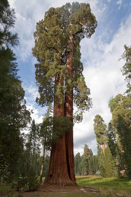 Big Trees Trail - Sequoia National Park. Photo by Ed by Ned - 2 Trees.