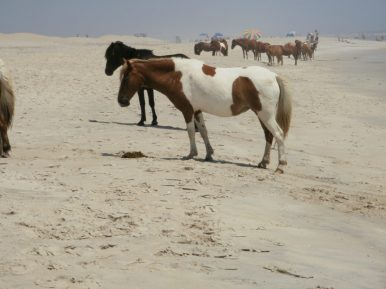 Assateague Island, off the coast of Maryland, is well known for its wild ponies. These Chincoteague ponies aren't normally referred to as horses because of their small size. This is the effect of the island's limited nutrition. Photo courtesy of member Thomas S.