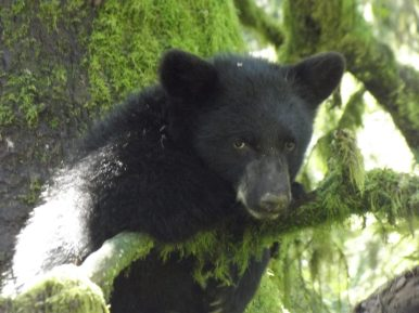 Around 1,500 bears inhabit Great Smoky Mountain National Park. It's one of the largest protected areas for wild black bears. Photo courtesy of member Karen B.