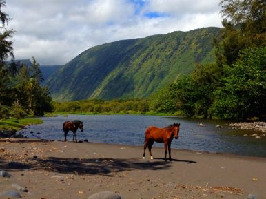 The wild horses in Waipio Valley (on the Big Island of Hawaii) are skilled at navigating all types of terrain, from rocks to mud to water. Photo courtesy of member Roderick G.