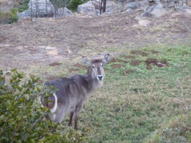 Waterbuck right outside chalet at Crystal Springs.