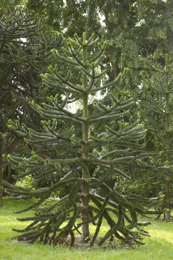 A young monkey puzzle tree (Araucaria araucana) in Kew Gardens, UK). Credit; GTC.