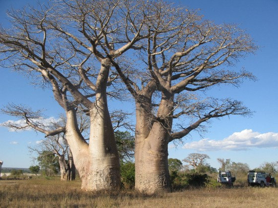 Two giants, side by side – these trees really define the landscape. Credit: Georgina Magin.