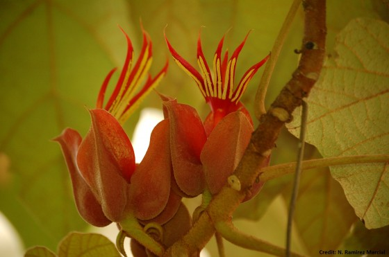 The striking red flowers of the devil's hand tree. Credit; N.-Ramírez-Marcial.