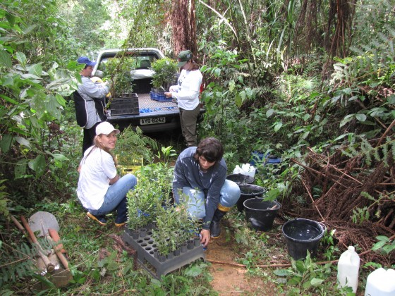 Hoffmann et al.'s finding are supporting the restoration of threatened trees across Parana, Bazil. Credit Sociedade Chauá.