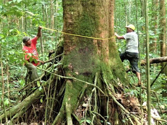Despite the mounting degradation of Príncipe's forests, many southern trees guarded by a dense barrier of vegetation and rough terrain have been growing for over 200 years. Felipe Spina Avino/FFI-PTF