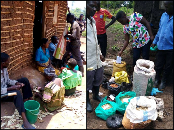 Seed collections being sorted by community collectors at Kagadi (left) and Mbale (right) nurseries, © Alislam Said Musa Mutegeki, Tooro Botanical Garden