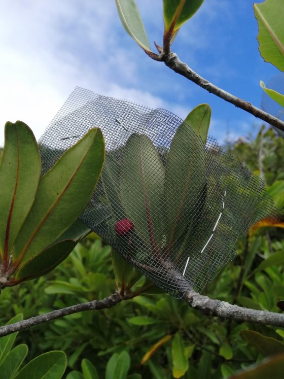 Badula balfouriana fruits wrapped in mesh to protect them from predation by rats