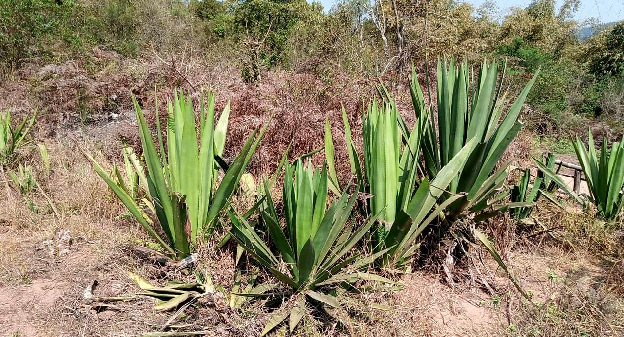 Sisal plant, an important crop in Tanzania, used to make rope, sacks, etc.
