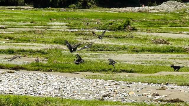A dog chases away a flock of Himalayan griffon and White-rumped vultures on the bank of Pokhara's Fhusre River.
