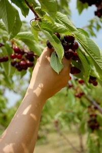Picking Cherries With Climate Change Deniers