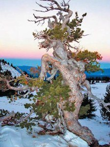 U.S. Fish and Wildlife Service Considers Whitebark Pine for Inclusion on Endangered Species List
