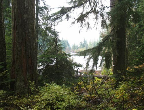 US Forest Management Plan has not only saved old growth forest, at has turned the forest into a carbon sink