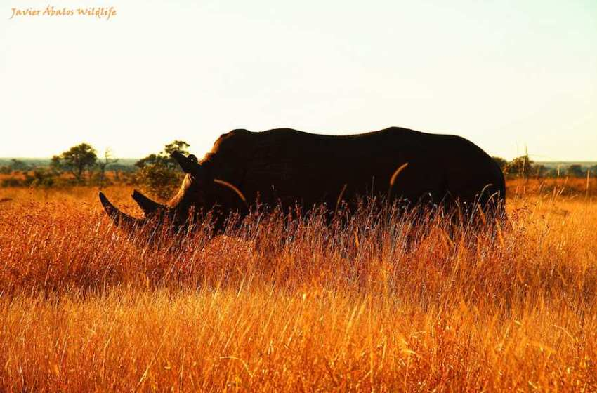 Rhino Horn Economics: The Perils of Commoditizing Nature