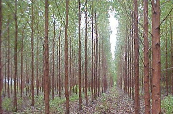 Eucalyptus trees planted in rows. Forest or farm?