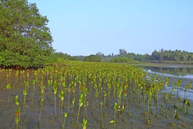 Myanmar Mangrove Restoration Project First to Receive Verified Carbon Standard Certification