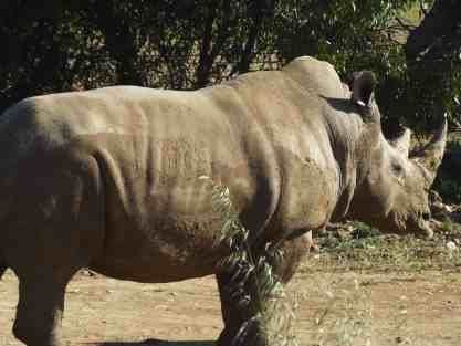 Southern White Rhino at Monarto Zoo