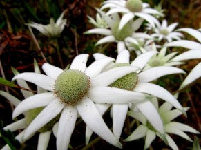 Flannel flowers on the Seal Rocks Road