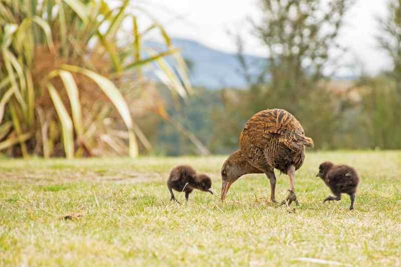 Wékas oiseaux de Nouvelle-Zélande