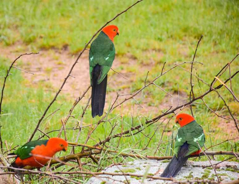 Perruches royales oiseaux sauvages magnifiques d'Australie