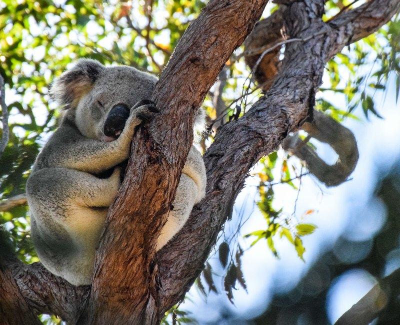 Animaux en australie : koala sauvage magnetic island